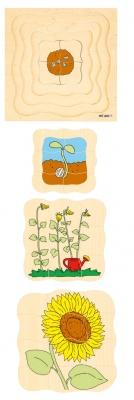 Vývojové puzzle slunečnice